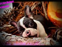 Frenchton Puppies - $1200.00. Popular asked for