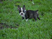 Frenchton puppies: Mom is French bulldog, Dad is Boston