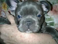 CKC Reg. Frenchton Puppies  88% French Bulldog Please