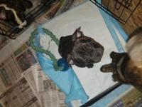 9 week old brindle female Frenchtons ready to take