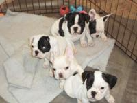 3/4 French Bulldog - 1/4 Boston Terrier. Sire is AKC