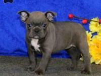 These beautiful Frenchton puppies are sired by 23 lb.