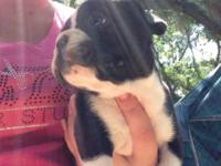Registered Ckc Males and females available $1200.00