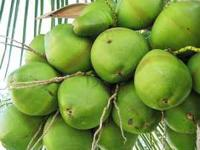 Fresh cut coconuts right from our trees. It's the