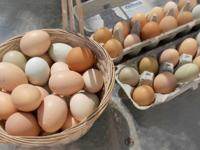 Fresh eggs for sale, free range and organic fed