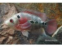 Beautiful Flowerhorns, Show Quality Super Red Dragon,