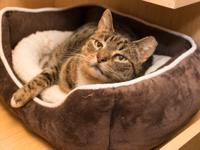 Fria is a friendly brown tabby. She needs to be handled