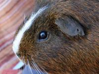 Fricco is a handsome male golden agouti American with a