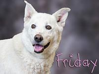 My story Friday is an eight year old Shepherd mix. He