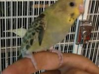 Only 1 Friendly/ Tame Baby parakeets left. They where