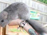 Stunning, soft, and extremely friendly Chinchillas for