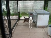 Pistol is a very friendly Feist approximately 7-8 years