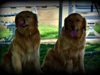We will certainly be having AKC Golden Retriever new