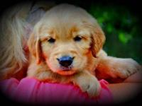 We have a litter of AKC Golden retriever puppies that