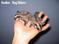 Male and female adult sugar gliders plus cage for