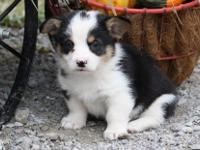 We have both males and females Pembroke Welsh Puppies.