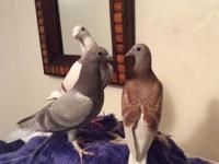 I have fancy ubeckian cross racing pigeons. Female and