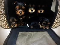 Friendly Trained Teacups Yorkie Puppies We have 4 Cute