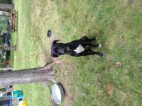 Male rescued Gordon Setter mix. He is about 5 months