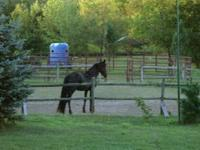 Nikki is a Friesian cross Saddlebred,16hh,solid black
