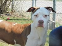 Frigg is a Pit Bull Terrier and Pointer mix that is