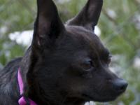 Fritz is a 4 year male Chihuahua that fell on some very