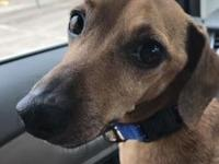 Fritz's story Fritz is a darling dachshund mix that is