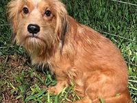 My story I am a male Dachshund/Yorkie mix. I am about 2