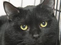 Froggy is a two year old all black male cat that came