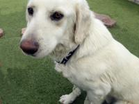 Frosty is a 3-year-old neutered male yellow lab. Frosty