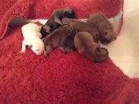 Frug puppies born 12/15/2014. They will certainly