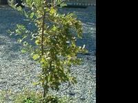 FRUIT TREES FOR SALE PEACH, PLUM, APRICOT, APPLE, PEAR,