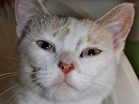 Frya's story Frya is a calico domestic short hair who