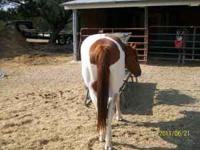 Petey is a 6 year old Paint gelding not registered. He