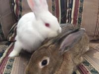 *Please note. This is a bonded pair of bunnies and they