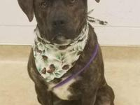 Meet Fudge!  Fudge is a male, 10 month old, Pit Bull