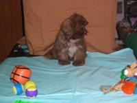 Fudgey is 13 weeks old CKC Reg. and has had two