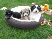 Free range Havanese Puppies - Never kenneled or caged.