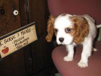 Full AKC Registration, Cavalier King Charles Spaniel