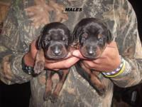 WE HAVE FULL AKC DOBERMAN PUPPIES FOR SALE. WE HAVE