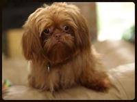 "AKC Male Shih Tzu Stud..we call him ""Red "" though his"