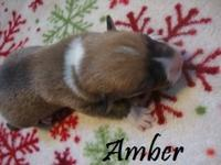 Full AKC Pembroke Welsh Corgi puppies only 2 left from