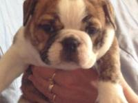Ready for new houses. 2 lovely englishbulldog young