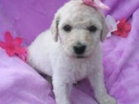 I Have a Beautiful Pair of AKC white standard poodles.