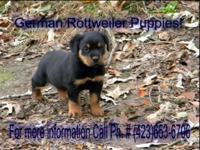 The German Rottweiler puppies are full A.K.C.