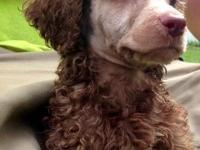 Full AKC Standard Poodle pups will be 8 weeks old on