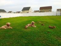 I am 5 beautiful standard poodle puppies for sale. They