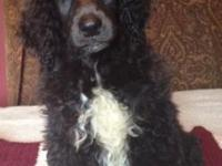 10 week old standard poodle male puppy. He's a blue,