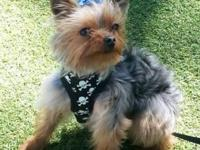 I have a Yorkie Male that is a year and a half aged.