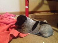 Blue Heeler puppies, 2 males and 2 females, ready now,